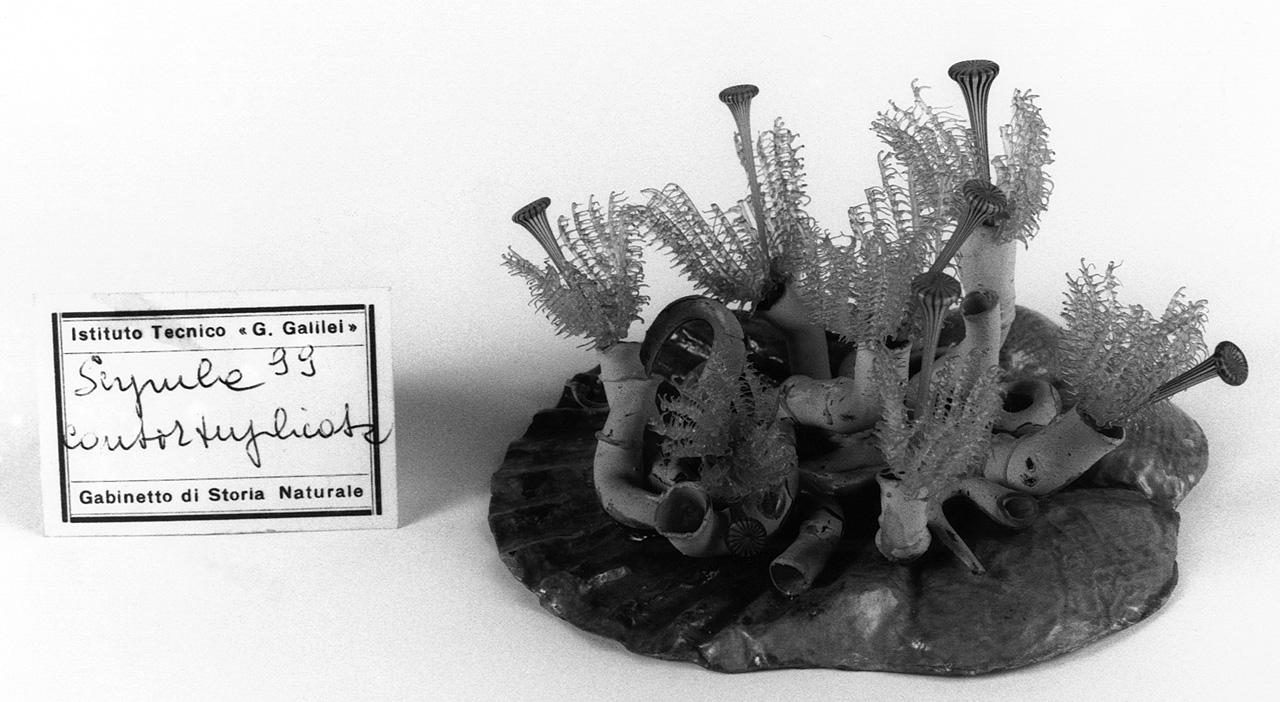 Serpules contortuplicata, organismo marino (modello) - manifattura di Dresda (seconda metà sec. XIX)