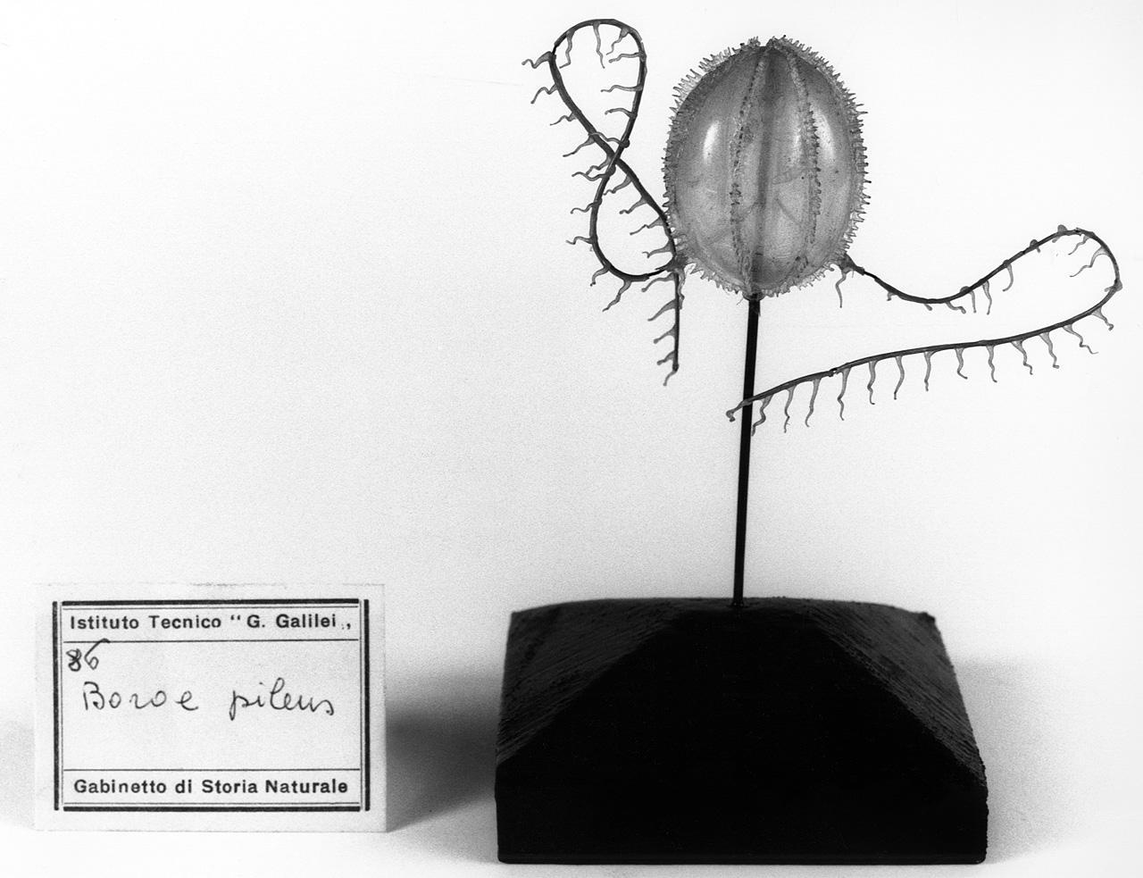 Boroe pileus, organismo marino (modello) - manifattura di Dresda (seconda metà sec. XIX)