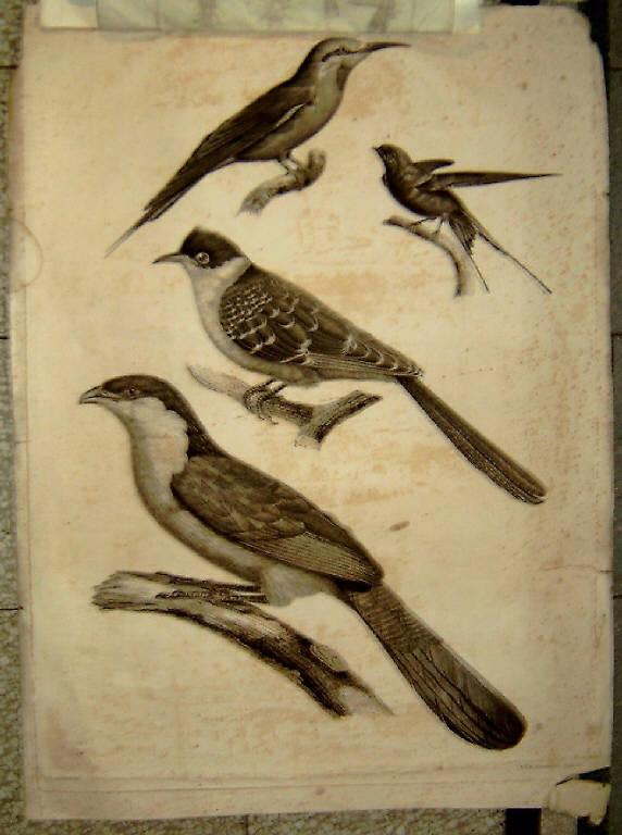 Uccelli (stampa) di Barraband, Redouté Pierre Joseph - scuola francese (prima metà sec. XIX)