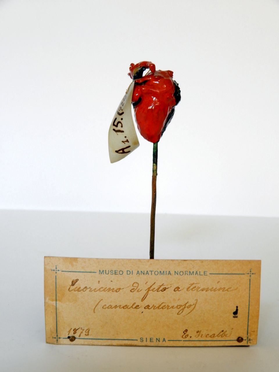 singolo reperto antropologico, cuore di feto (morfologia/ struttura alterata post mortem per intervento antropico, trattato e colorato) (XIX, ultimo quarto)