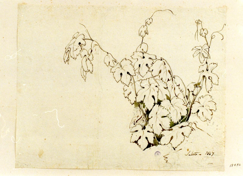 studio di tralcio di vite (disegno) di Gigante Giacinto (sec. XIX)