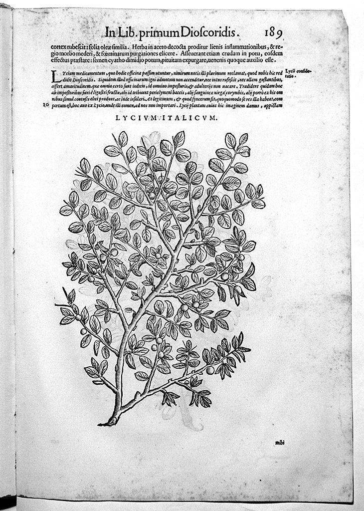 erbario (stampa, serie) di Liberale Giorgio detto Gensio, Maierpeck Wolfango (sec. XVI)